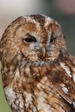 Tawny Owl. Portrait of a British male Tawny Owl Royalty Free Stock Images