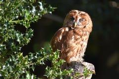 Tawny Owl Immagini Stock