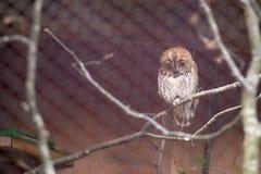 Tawny Owl Fotografering för Bildbyråer