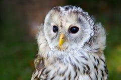 Tawny Owl Lizenzfreies Stockbild