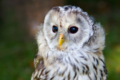 Tawny Owl royalty-vrije stock afbeelding