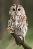 Tawny Owl Fotografia Stock Libera da Diritti