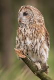 Tawny Owl Arkivfoton