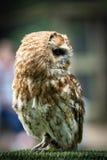 Tawny Owl Image libre de droits