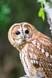 Tawny Owl aka Strix aluco. The tawny owl or brown owl Strix aluco is a stocky, medium-sized owl commonly found in woodlands across much of Eurasia. Its stock image