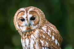 Tawny Owl aka Strix aluco upper body. The tawny owl or brown owl Strix aluco is a stocky, medium-sized owl commonly found in woodlands across much of Eurasia royalty free stock photo