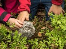 Tawny Owl, aluco dello strige, giovane uccello, petted da alcune piccole mani dei bambini Fotografia Stock Libera da Diritti