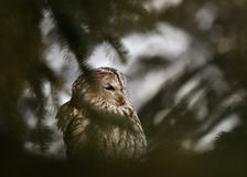 Tawny Owl behind coniferous tree. In winter Royalty Free Stock Image