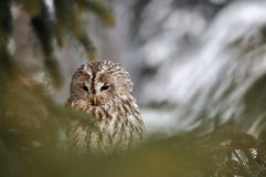 Tawny Owl behind coniferous tree. With snow in background Royalty Free Stock Images