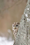 Tawny Owl behind the tree with beige background. Looking to left side royalty free stock photo