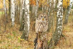 Tawny owl in birch forest Royalty Free Stock Images