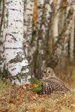 Tawny owl by birch tree Stock Photography
