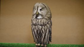 Tawny owl blinks and spins head. stock video
