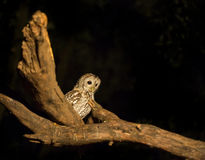 Tawny Owl on branch Stock Image