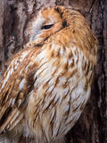 Tawny owl brown colour Stock Image