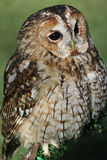 Tawny owl or brown owl. (Strix aluco royalty free stock photo