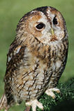 Tawny owl or brown owl. (Strix aluco royalty free stock image
