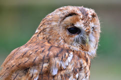 Tawny Owl. The Tawny Owl or Brown Owl (Strix aluco) is found in woodlands across Eurasia stock photography
