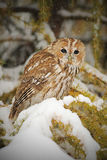 Tawny owl, brown owl, Strix aluco stock image