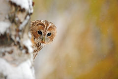 Tawny owl, brown owl, Strix aluco royalty free stock photos