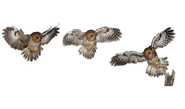 Tawny owl, brown owl, Strix aluco royalty free stock images