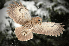 Tawny owl, brown owl, Strix aluco stock photo