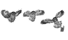 Tawny owl, brown owl, Strix aluco stock photo