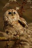 Tawny owl, brown owl, Strix aluco royalty free stock photo