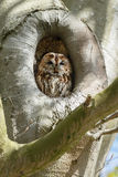The tawny owl or brown owl (Strix aluco). In a tree hole stock photography