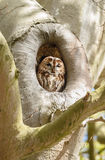 The tawny owl or brown owl (Strix aluco) Stock Photos