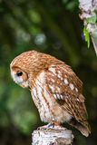 Tawny Owl aka Strix aluco upper body. The tawny owl or brown owl Strix aluco is a stocky, medium-sized owl commonly found in woodlands across much of Eurasia royalty free stock images