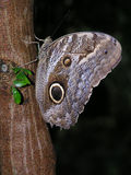 Tawny Owl Butterfly. Tawny Owl or Memnon's Owl Butterfly (Caligo memnon) on tree Stock Images
