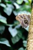 Tawny Owl Butterfly in aard Stock Afbeeldingen
