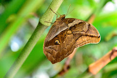 Tawny Owl Butterfly in der Natur Lizenzfreies Stockfoto
