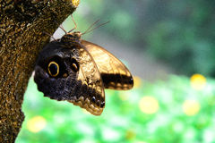 Tawny Owl Butterfly en nature Photographie stock libre de droits