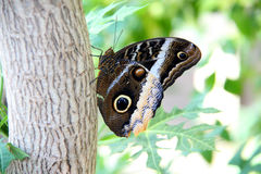 Tawny Owl Butterfly 2. Large Tawny Owel Butterfly resting on a tree branch Stock Photo