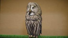 Tawny Owl centella y hace girar la cabeza almacen de video