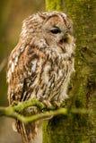 Tawny Owl che si siede su un ramo Immagine Stock Libera da Diritti