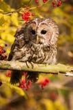Tawny Owl che si siede su un ramo Immagine Stock