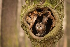 Tawny Owl che si siede su un ramo Fotografie Stock