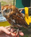 Tawny Owl Chick Lizenzfreie Stockbilder