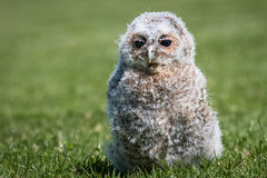 Tawny Owl Chick Arkivbild