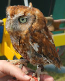 Tawny Owl Chick Stock Photo
