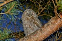 Tawny owl chick & x28;Strix Aluco& x29; stock photography