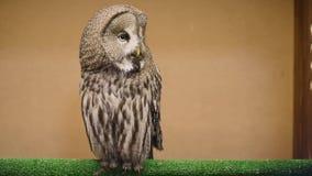 Tawny Owl clignote et tourne la tête banque de vidéos