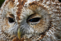 Tawny owl. Close portrait of a Tawny Owl Stock Image