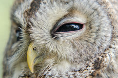 Tawny Owl. A close-up portrait of a tawny owl royalty free stock photos