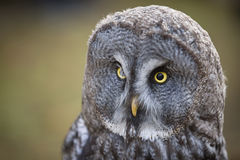 Tawny owl close up shot. Royalty Free Stock Photos