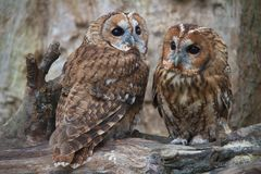 Tawny Owl Couple Royalty Free Stock Image