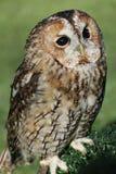 Tawny owl eller brun owl Royaltyfri Bild
